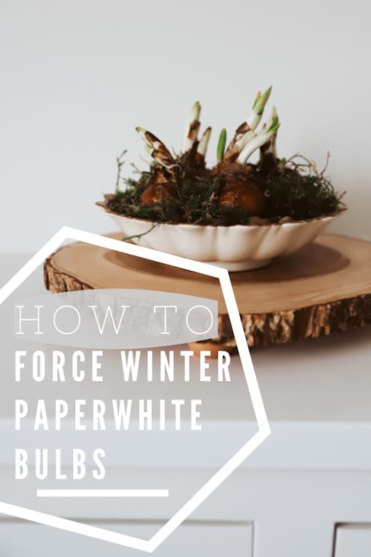 forcing winter bulbs easy paperwhites
