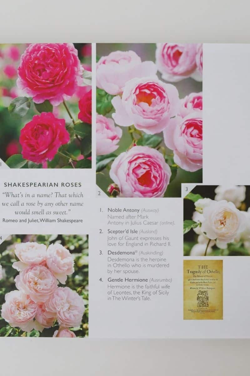 brochure of david austin roses in hues of pink laying on a white counter