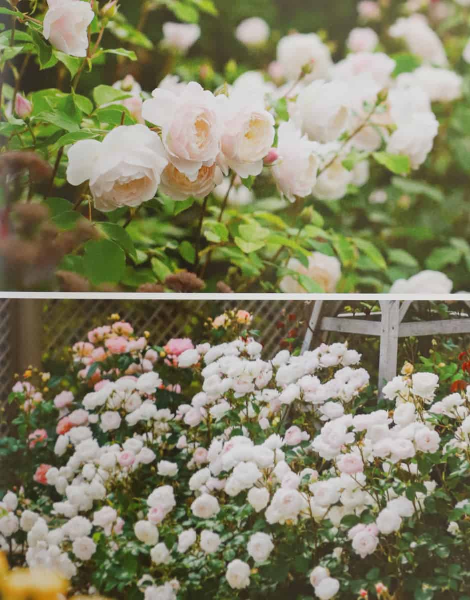 buying and planting desdemona roses