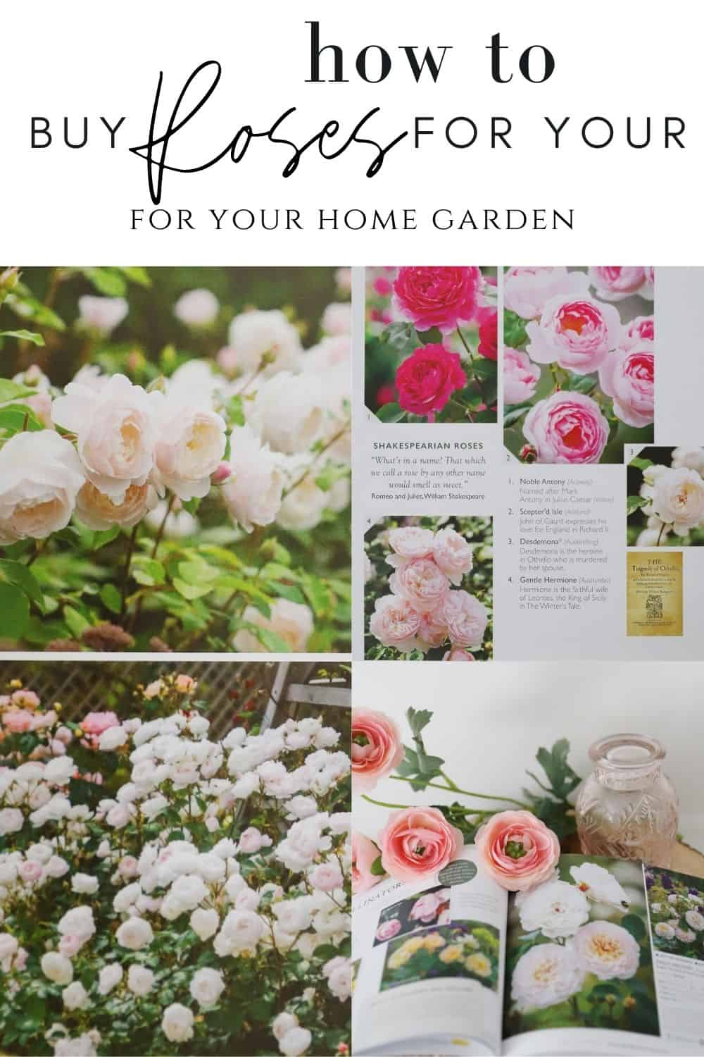 a guide for how to buy roses for your home garden