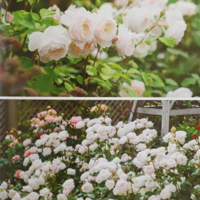 How to Buy Roses for Your Garden