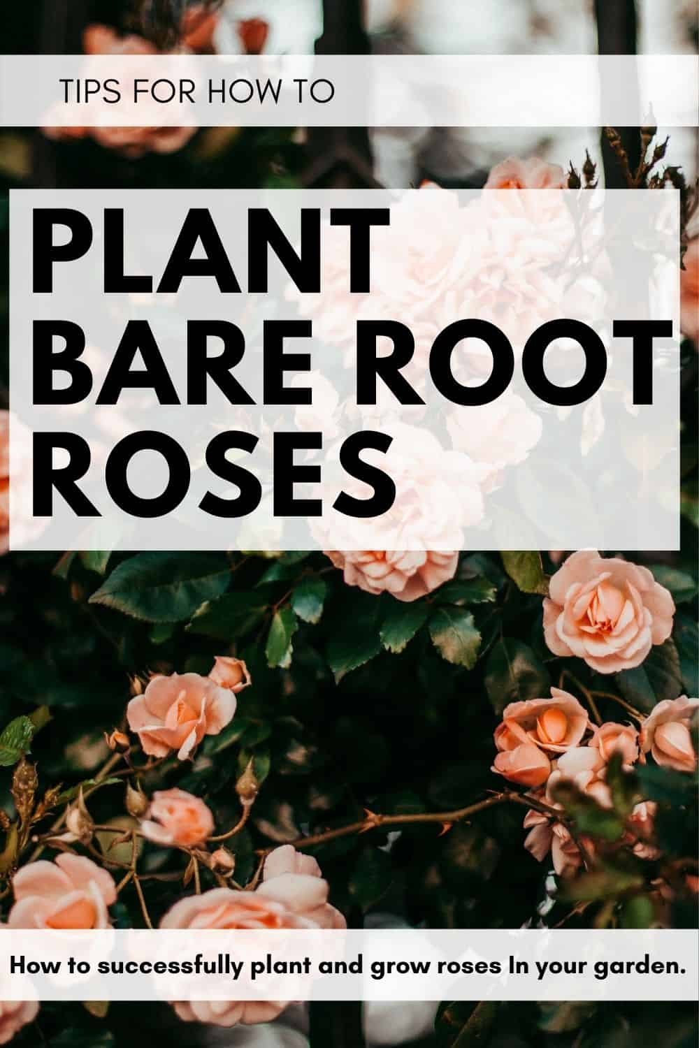 tips for how to plant bare root roses and what bare root roses are