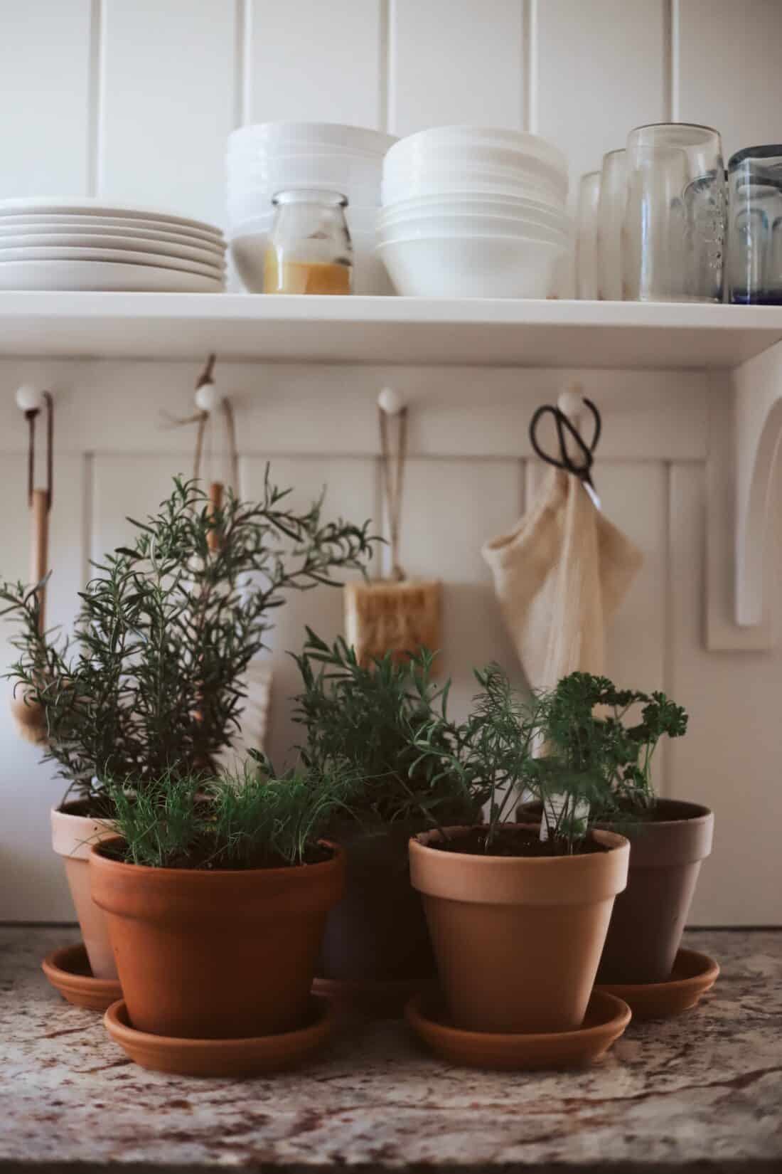 rosemary cilantro parsley in pots on a kitchen counter