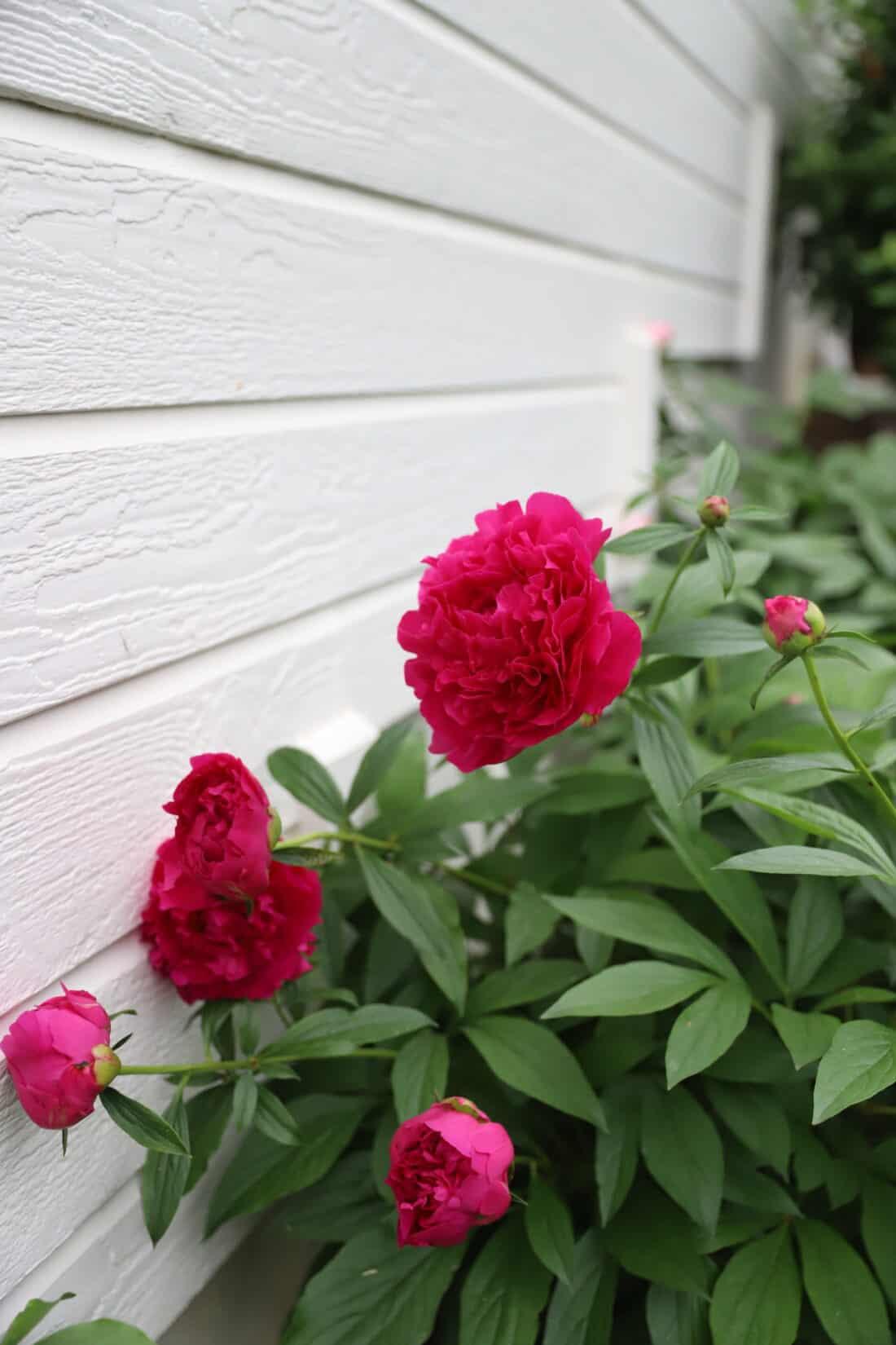 deep pink peonies in a garden