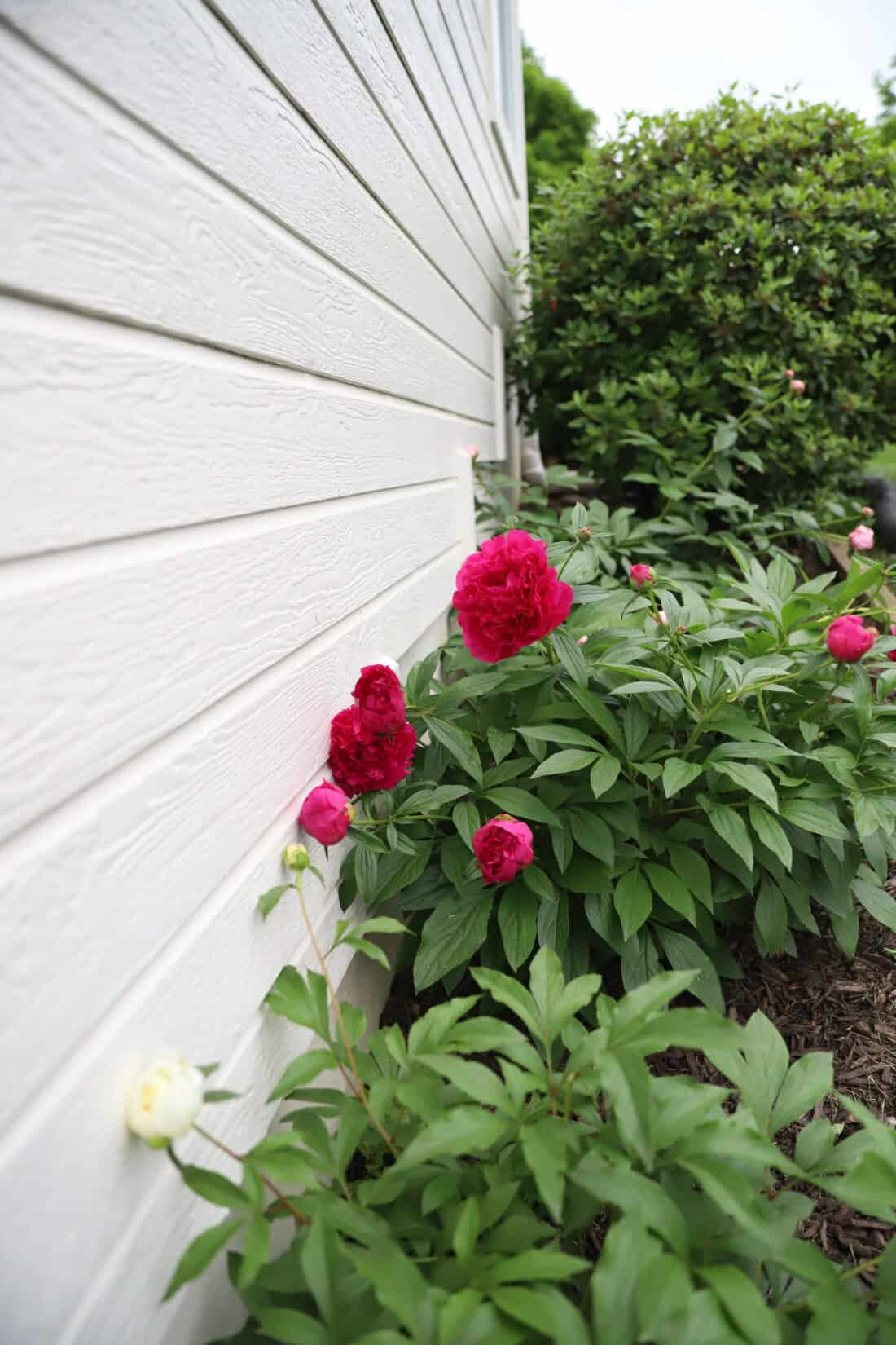peony plants lined up next to a white house