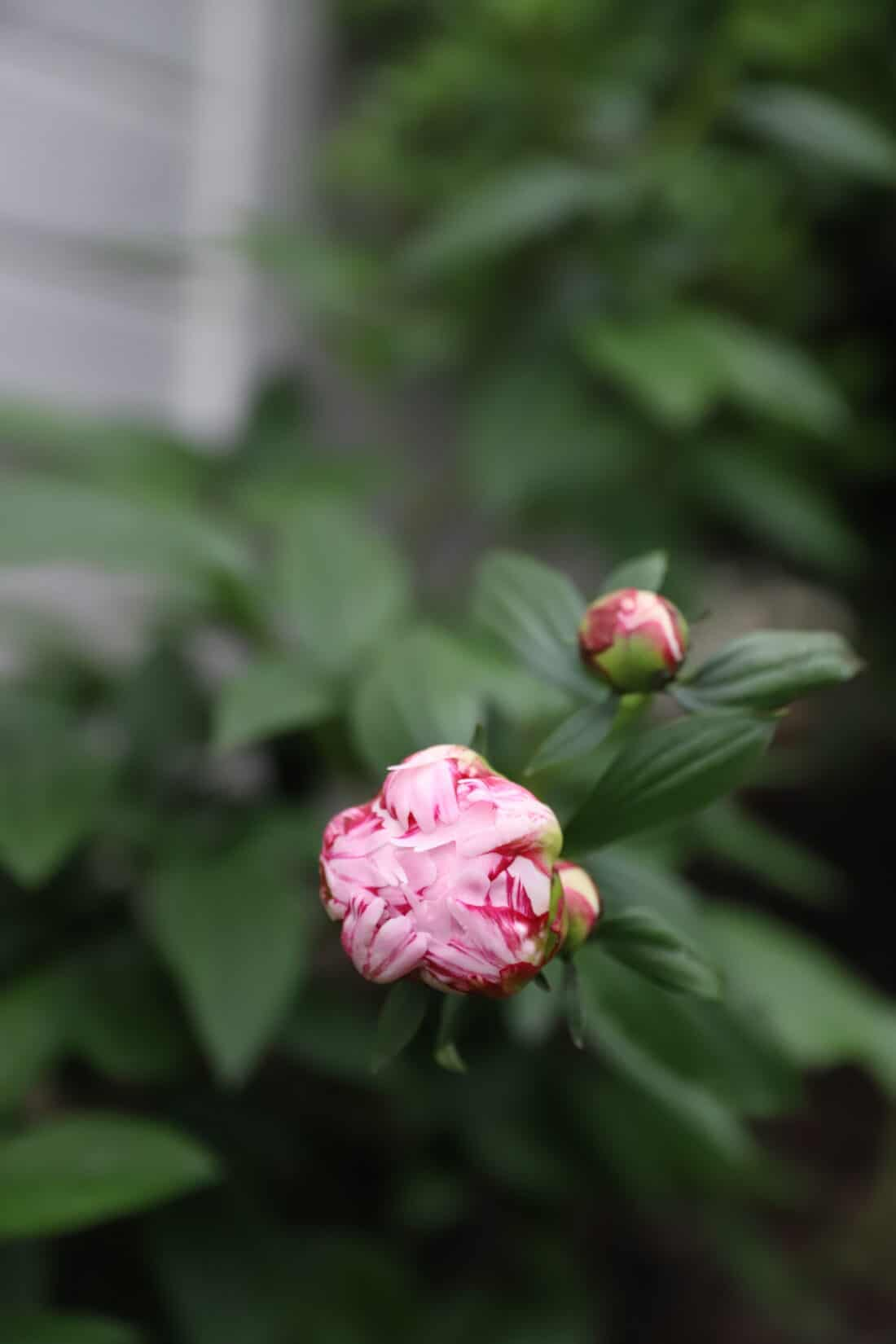 the bud of a sarah bernhardt peony about to open
